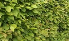 Common Hornbeam - Carpinus Betulus