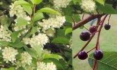 Wild Cherry - Prunus avium